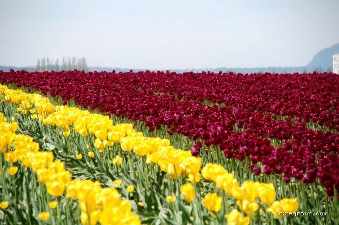 colors of tulips