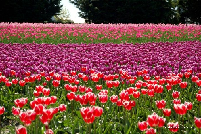 tulips colors