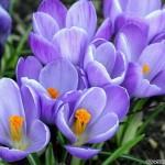 flower-blue -violet-13