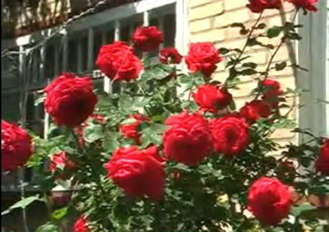 """""""bunch of roses"""""""